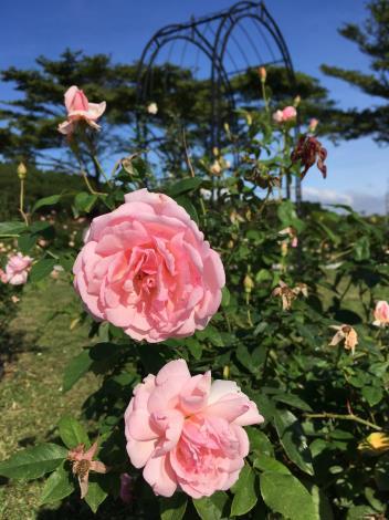 圖3. 古老的茶玫瑰品種,柔美嬌嫩的粉紅櫻鏡[開啟新連結]