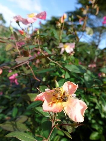 圖8. 甜美的茶香芬芳也吸引蜜蜂前來採蜜[開啟新連結]