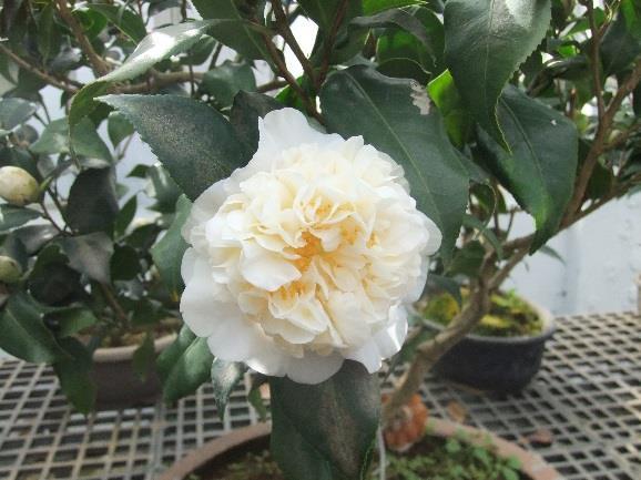 會香的-黃花灌木
