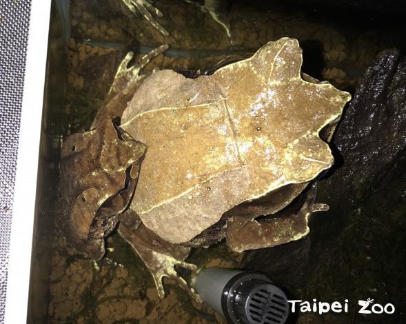 棲身在落葉堆裡的偽裝高手~三角枯葉蛙首度繁殖成功