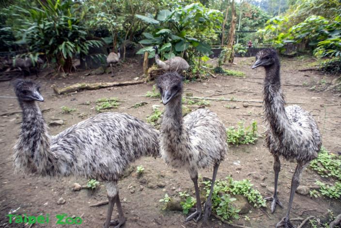 冬天不進補還要節食 澳洲的特異鳥類-鴯鶓
