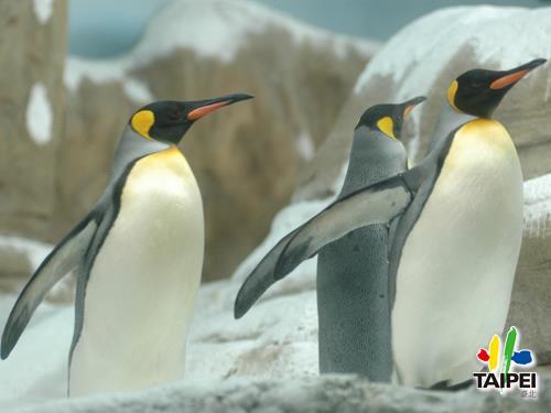國王企鵝_木柵動物園