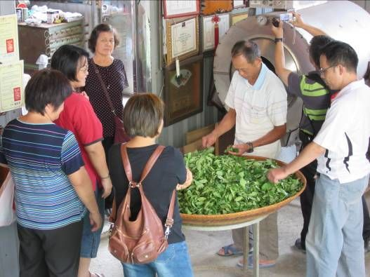 南港綠茶製作教學
