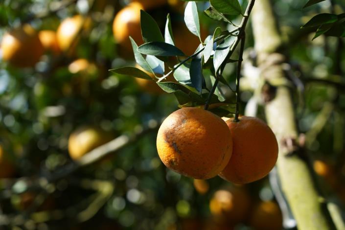 圖3.北投桶柑果色鮮美[另開新視窗]