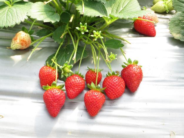 圖2、草莓園結果情形
