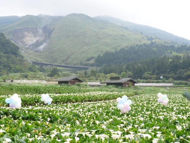 圖7.竹子湖白色海芋盛開美不勝收[另開新視窗]