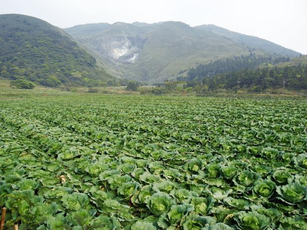 圖2.竹子湖海芋田過去曾種過高麗菜[開啟新連結]