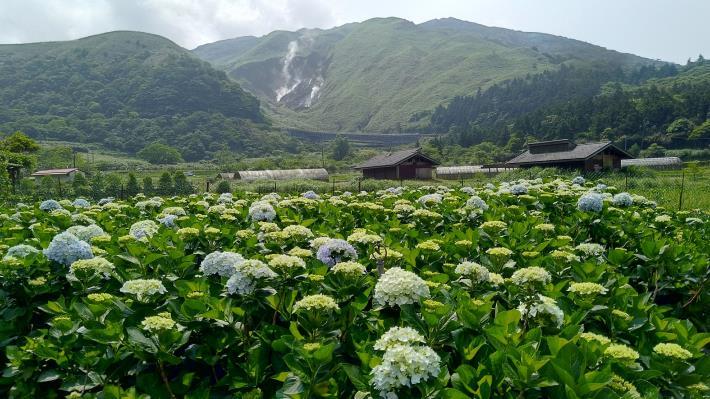 圖2.花色高雅的白色與淺色繡球花已陸續開放。[開啟新連結]