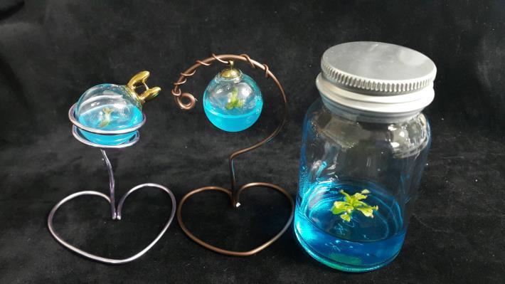 圖3.瓶內植物-左1、2厚葉月影,左3豬籠草。[開啟新連結]