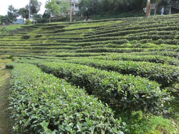 圖3.貓空地區隨處可見整齊的茶園