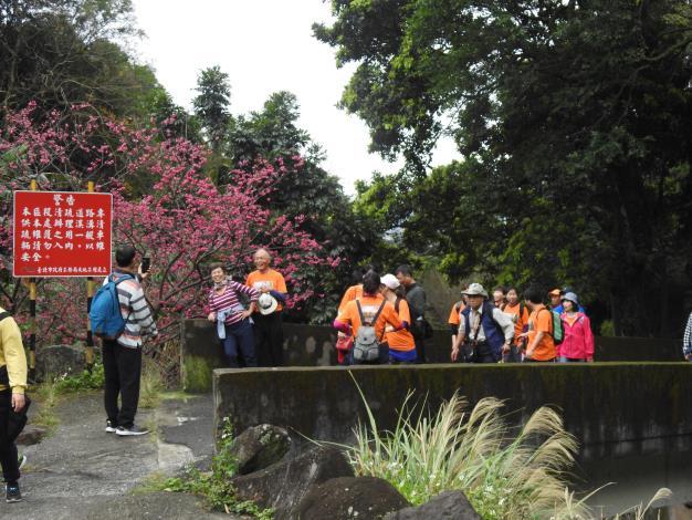 沿途櫻花盛開民眾健身又賞景