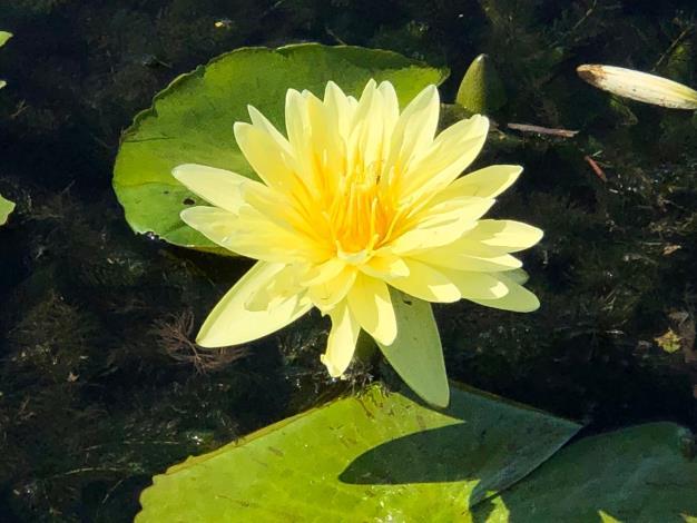 圖1.黃色睡蓮有個淡淡清香,不只可以觀賞還可以泡茶飲用。