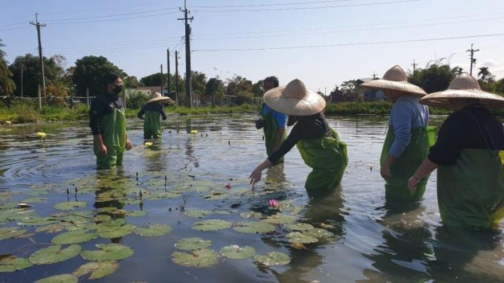 圖3.農場還可以體驗穿青蛙裝下水採蓮花。