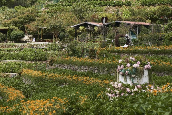 圖3、「曹家花田香」的金針花於九月起陸續盛開。