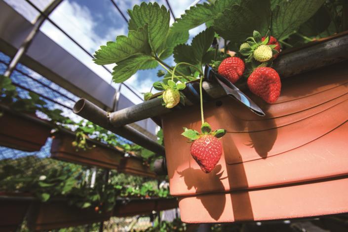 圖1、白石湖休閒農業區已進入草莓盛產季。