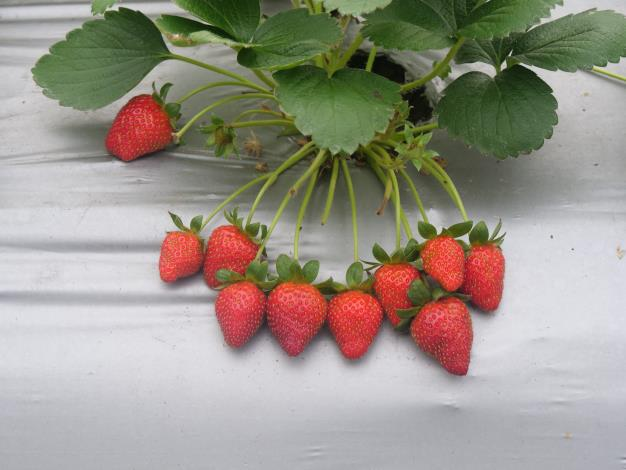 內湖草莓農友生產的新鮮草莓。