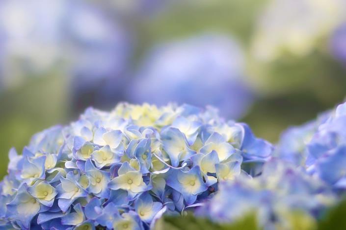繡球花 (1)