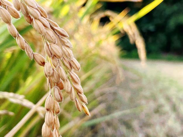 水稻 (2)