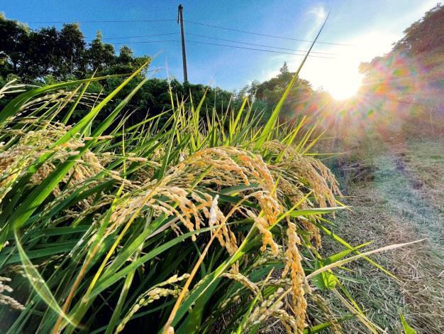 水稻 (1)