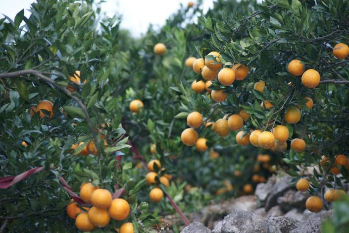北投桶柑果香酸甜濃郁、飽滿多汁,是逢年過節的最佳伴手禮