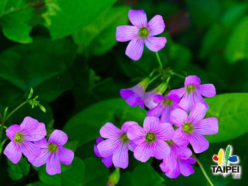 內雙溪自然中心紫花酢漿草