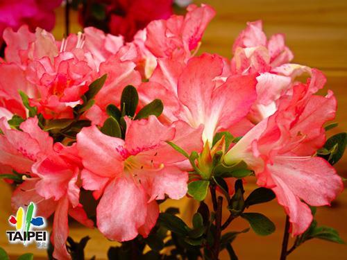 03杜鵑花