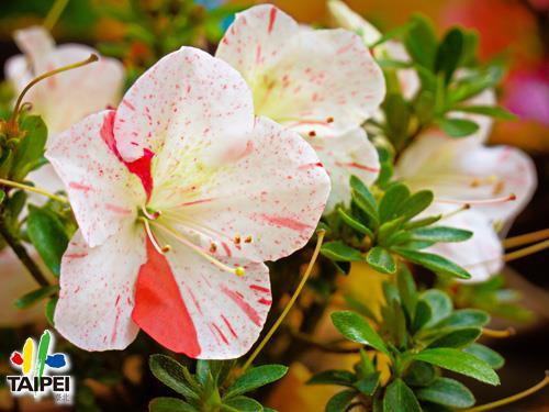 06杜鵑花
