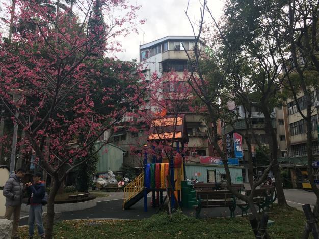 本里泰順公園櫻花盛開