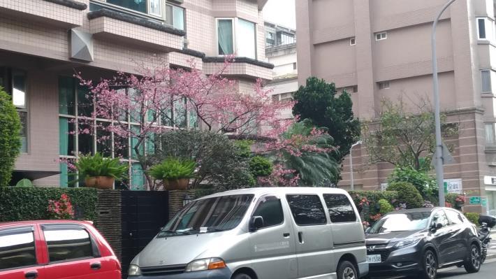 里內櫻花盛開