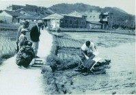 七O年代農村景觀-機械式插秧