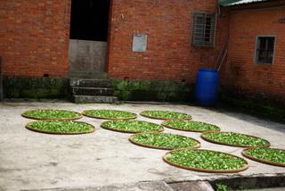 農家曬茶照片