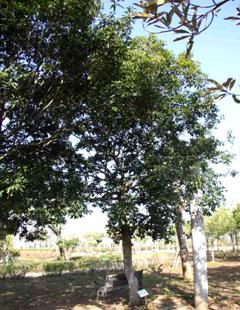 區樹:青剛櫟(圖片引用自東北角暨宜蘭海岸國家風景區全球資訊網)