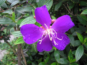 圖1:區花紫色野牡丹(由信義區公所秘書室拍攝)
