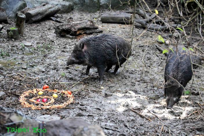 臺灣野豬祝福大家母親節快樂!