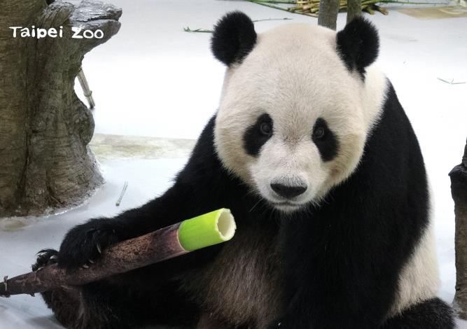 大貓熊「團團」每到用餐時間,都會循著轎篙筍所散發出來的特殊風味,鎖定目標優先採食