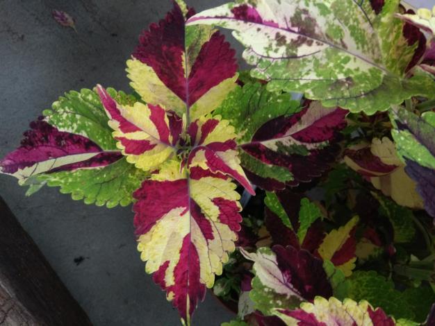 彩葉草葉色葉形美的令人讚嘆