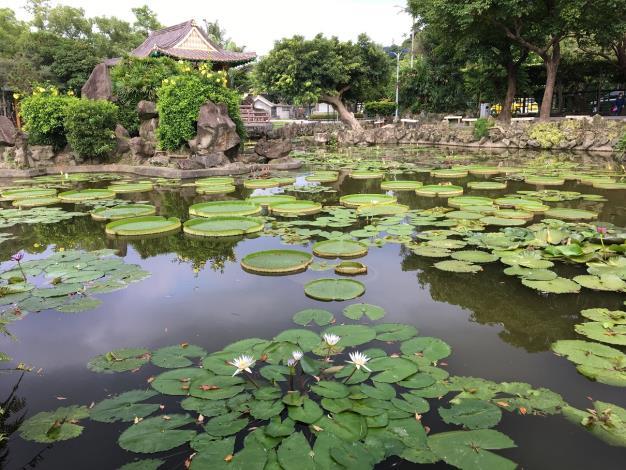 圖5.雙溪公園大王蓮及睡蓮現況實景,期待滿池壯觀景象