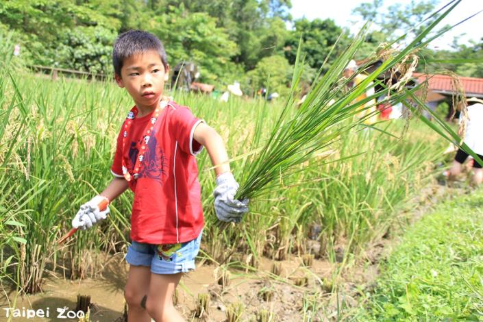 家長帶著孩子們親身體驗「粒粒皆辛苦」的農業文化