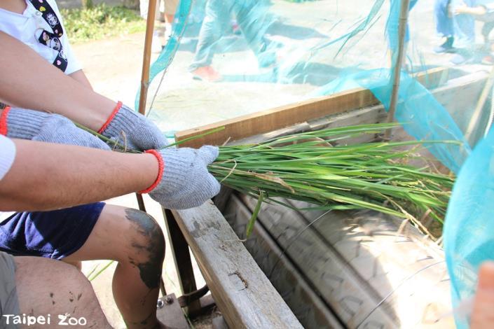 賣力的踩著踏板,讓不斷滾動的打穀機將稻穗一顆顆打下