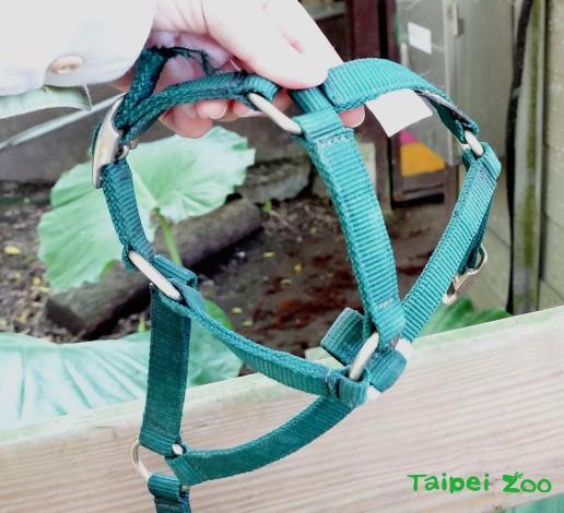 保育員自行加工改造馬匹專用的「轡頭」讓羊駝配戴
