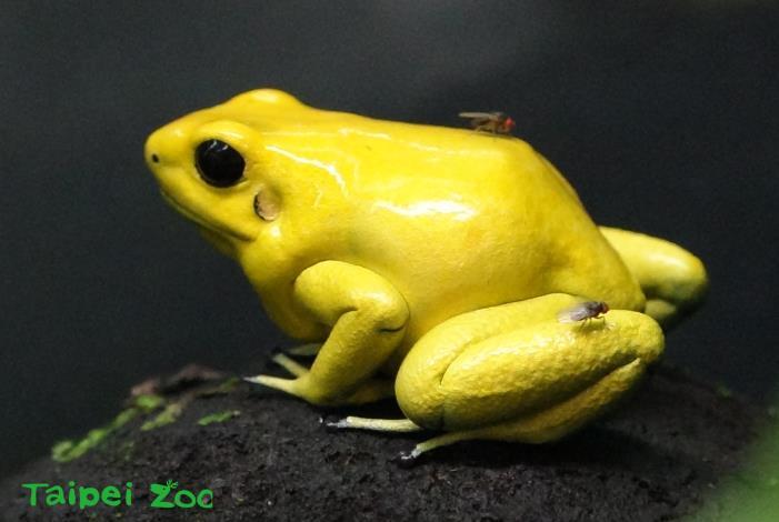 金色箭毒蛙生性活潑不怕生,民眾近距離尋找到及觀察牠們的機會也相當高