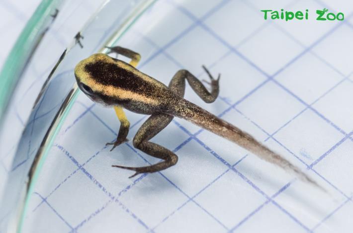 金色箭毒蛙的蝌蚪已長出四肢