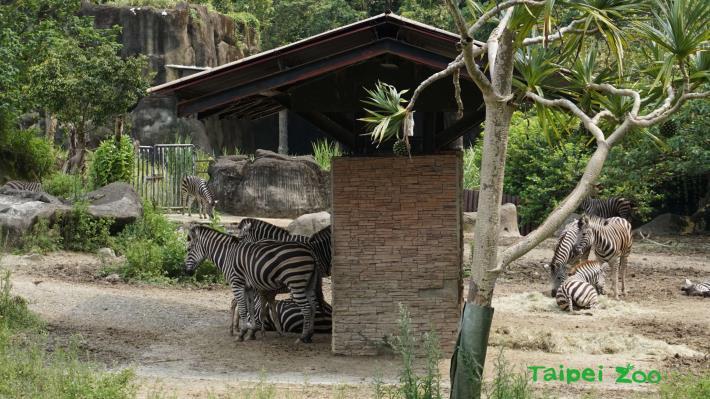 乘涼的位置也可以看出每匹斑馬的位階,斑馬寶寶因為媽媽位階較高,所以跟著在左邊陰涼處休息