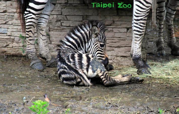 斑馬寶寶還在發育不耐久站,一有機會就會倒臥著休息,很容易被路過的遊客誤以為是生病了呢!