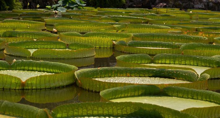 圖1. 雙溪公園大王蓮壯觀景象令人驚嘆  攝自紀文珩