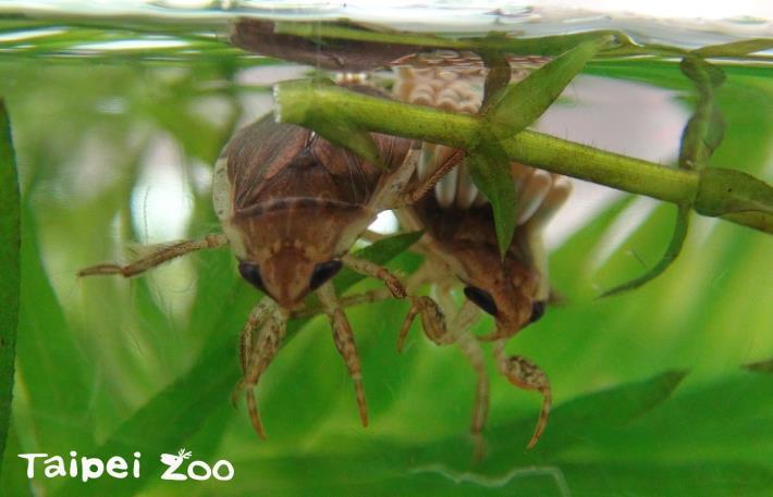 雌蟲會分泌一種膠狀物質將卵牢牢的固定在雄蟲的背上