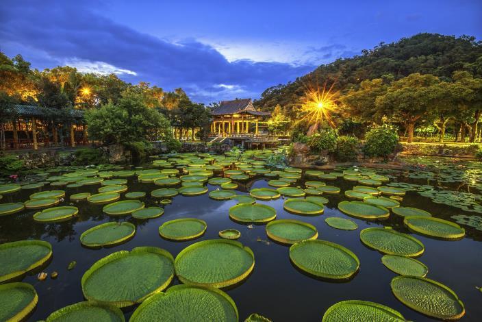 圖2.雙溪公園滿池壯觀的大王蓮 攝影李光裕