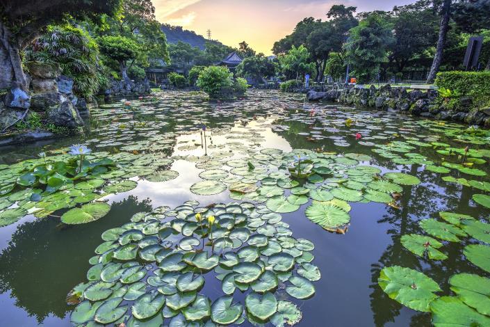 圖3.雙溪公園栽植了為數眾多的睡蓮,現正熱鬧綻放 攝影李光裕