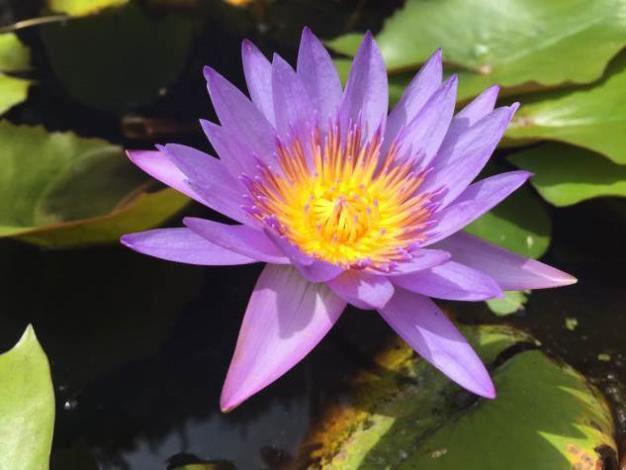 圖2.水生植物展―睡蓮