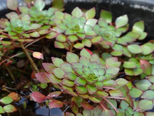 圖4.水生植物展―黃花菱